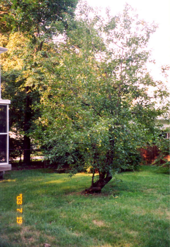 Miriam's apple tree.
